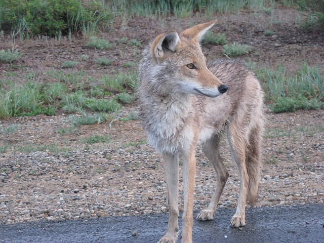 A Pack OfCoyotes